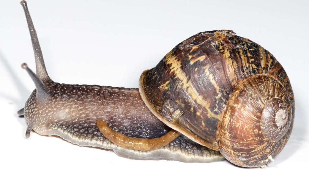 Garden_snail_defecating