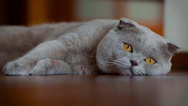 pisica0