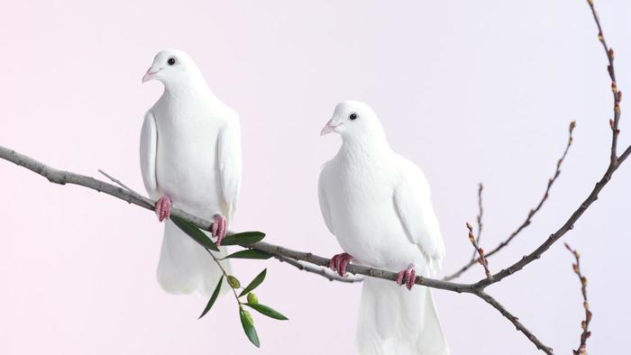 porumbel-alb