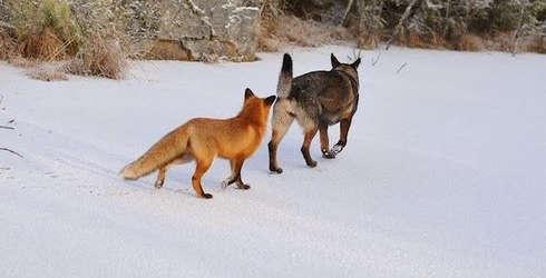 Prieteni-caine-si-vulpe-Norvegia